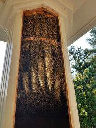 Honey Bee Removal Column Roswell