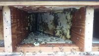 Greenville honey bee removal floor joist 1