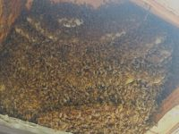 b_200_200_16777215_00_images_files_Macon_Honey_Bee_Removal_from_Bay_Window_2.jpg