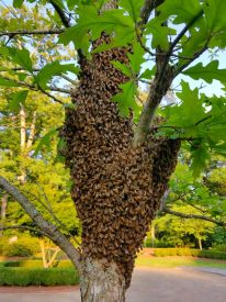Bee Swarm Tree Johns Creek