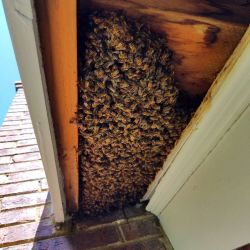 Honey Bees Chimney Eaves Roswell