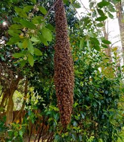 b_250_287_16777215_00_images_cities_sandy-springs_Honey-Bee-Swarm-Sandy-Springs.jpg