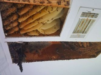 Honey Bee Removal Ceiling Johns Creek