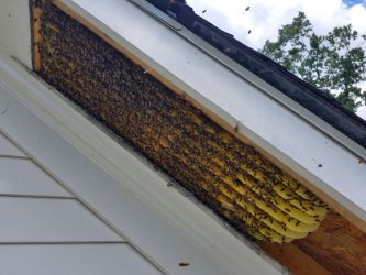 Bees Honeycomb Eaves - bee removal services in marietta, georgia