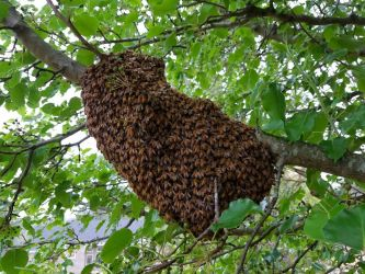 Honey Bee Swarm Branch - bee removal services in marietta, georgia
