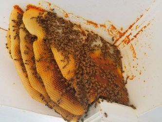 Exposed Bee Hive Honey Comb