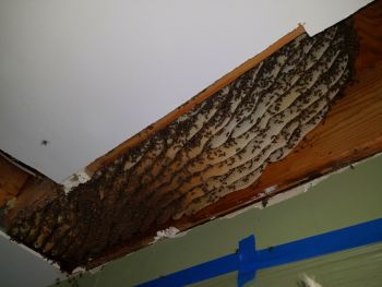 Huge Atlanta Honey Bee Colony in Floor Joist