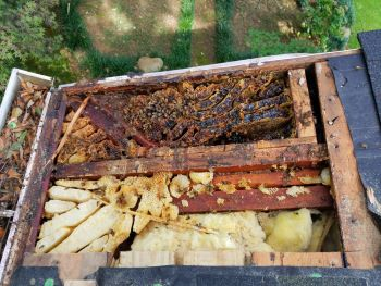 Removing a Honey Bee Colony from a Roof in Clemson South Carolina