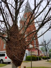 Honey Bee Swarm on a Small Tree Near a Columbus Georgia Church