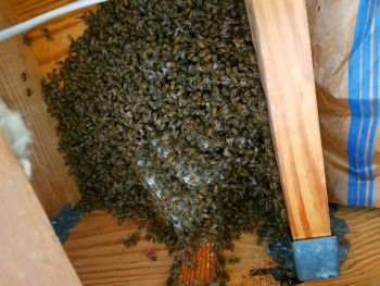One Week Old Honey Bee Swarm in Floor