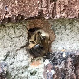 b_350_275_16777215_00_images_Mason-Bee-Going-in-Weep-Hole.JPG