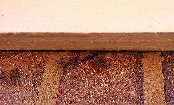 Honey Bees Entering Small Gap Between First and Second Floor of House