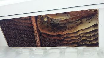 honey bee hive in eaves by chimney