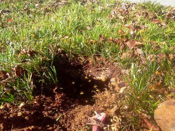 Yellow Jacket Nest Removal From the Ground