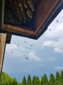 b_350_275_16777215_00_images_files_Macon_Honey_Bee_Removal_from_Bay_Window_1.jpg