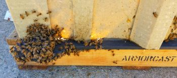 Honey Bees in Concrete Box #2