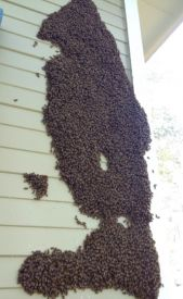 web 20000 bees plastered to wall Macon GA
